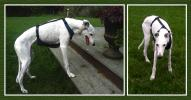 *  Assistance Harness for Greyhounds - Click For Enlargement